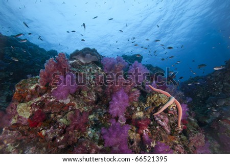 Healthy Soft Coral Reef with Star fish and reef fish surrounding it at Richelieu Rock in Surin National Marine Park, Thailand! - stock photo