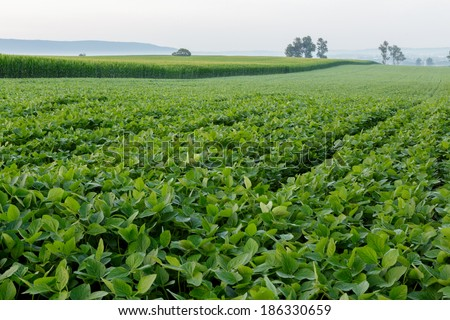 Healthy soybean field on a summer morning - stock photo