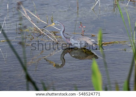 Healthy tricolored heron stalking a fish in a marsh in South Florida, and is ready to strike.
