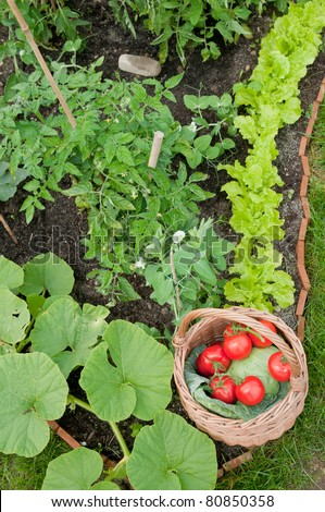 Healthy vegetable -  basket of harvested vegetables in the garden - stock photo