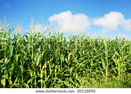 Healthy young maize plants against blue sky - stock photo