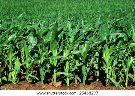 Healthy young maize plants growing beautyfully on the field - stock photo