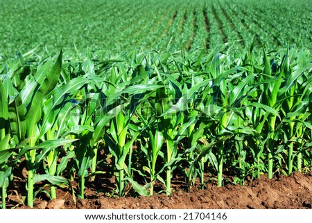 Healthy young maize plants in a big field - stock photo
