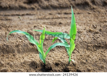 healthy young maize plants on the field - stock photo