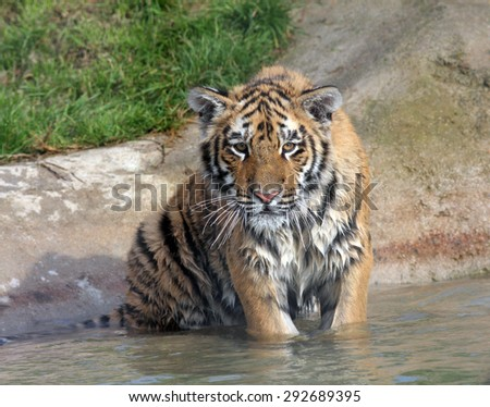 Healthy young Tiger cub sitting in water - stock photo