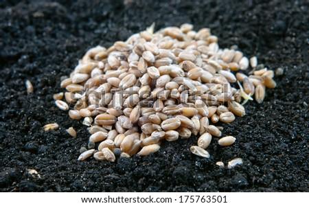 heap grain on the soil close up - stock photo