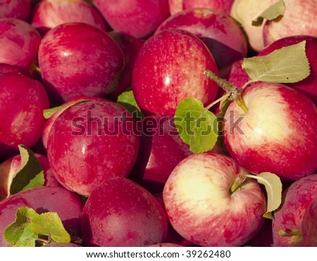 Heap of fresh-picked red apples