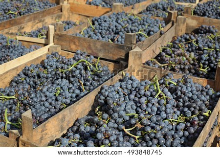 Heap of merlot grape in wooden boxes ready for wine making