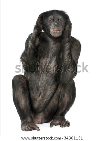 Hear no Evil monkey (Mixed-Breed between Chimpanzee and Bonobo) (20 years old) in front of a white background