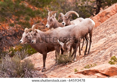 Heard Of Desert Big Horn Sheep in Utah?s Zion National Park
