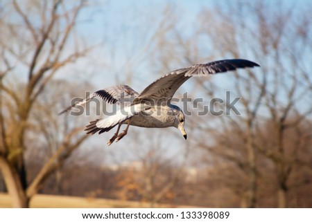 Hearing Gull in flight in Winter, Washington, D.C. - stock photo