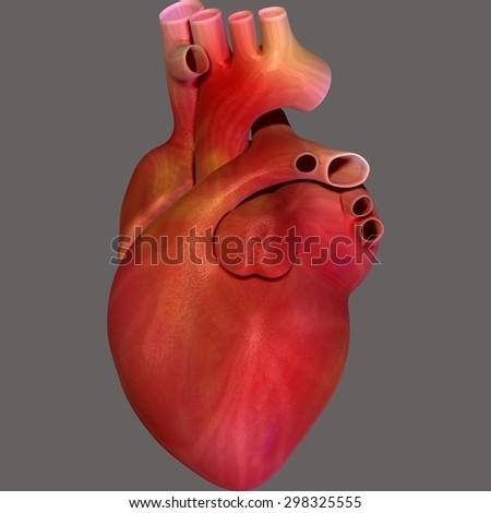 Heart Anatomy Stock Illustration 298325486 - Shutterstock
