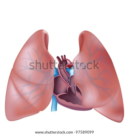 Heart cross section and lungs anatomy - stock photo