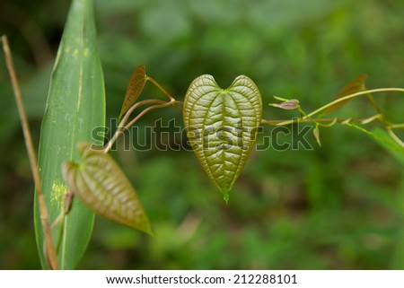 Heart leaf. - stock photo