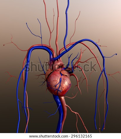 Heart model, Human heart model, Full clipping path included, Human heart for medical study, Human Heart Anatomy