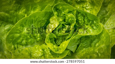 Heart of a fresh organic salad in a garden - stock photo