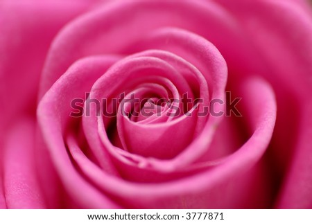 heart of a pink rose - stock photo