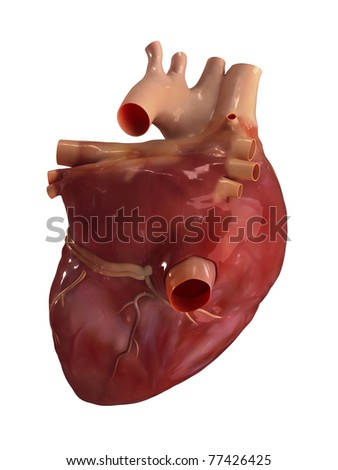 Heart posterior view