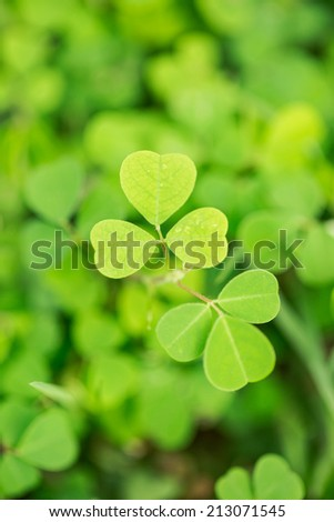 Heart shape leaf of small green plant