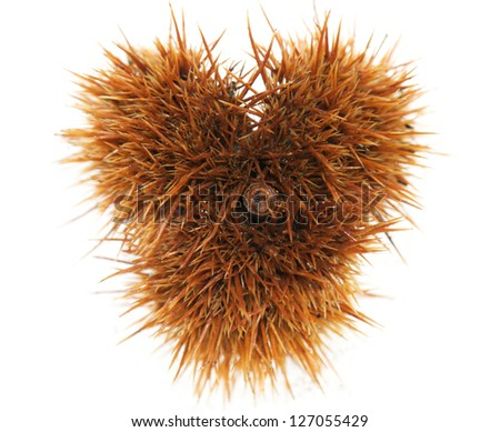 heart-shaped chestnut pod on a white background
