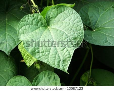 Heart shaped green leaf - stock photo