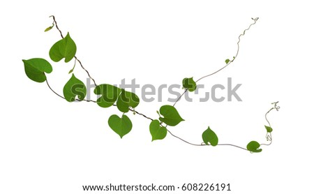Heart shaped green leaf vines isolated stock photo download now heart shaped green leaf vines isolated on white background clipping path included mightylinksfo