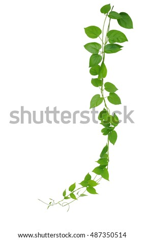 heart shaped green leaf vines isolatedの写真素材 ロイヤリティフリー