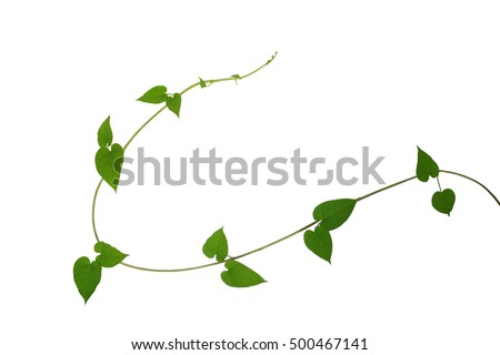 Heart shaped green leaf vines isolated stock photo royalty free heart shaped green leaf vines isolated on white background clipping path included cowslip creeper mightylinksfo
