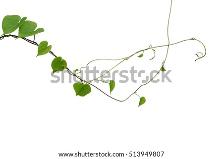 Heart shaped green leaf wild vines stock photo royalty free heart shaped green leaf wild vines isolated on white background clipping path included thin mightylinksfo