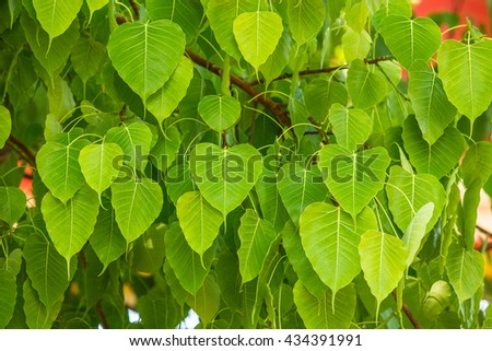 Heart-shaped green leaves.