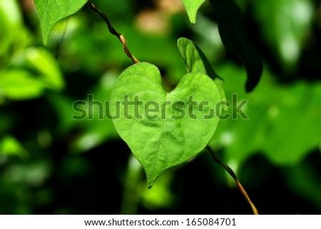 Heart shaped leaf - stock photo