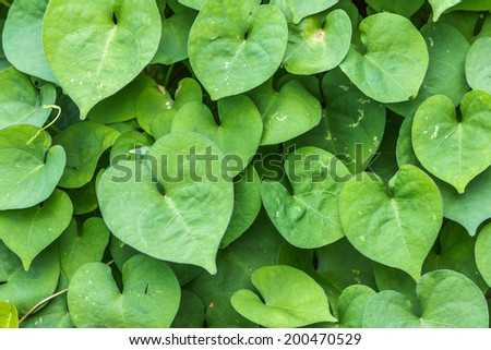 Heart-shaped leaves Rams fully
