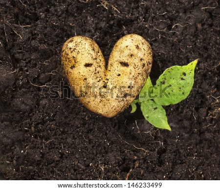 heart shaped potato lying on the garden soil background in bright daylight  - stock photo