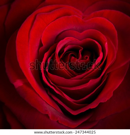 heart-shaped red rose - stock photo