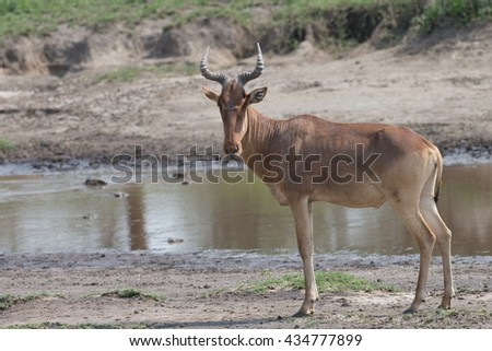 Heartebeest by water hole in Serengeti Tanzania - stock photo