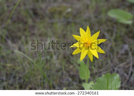 Heartleaf Arnica - stock photo