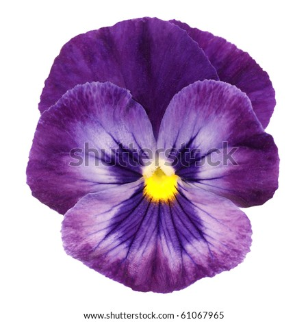 heartsease on white background - stock photo