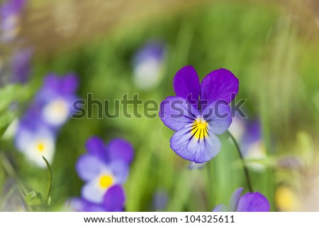 Heartsease, Viola tricolor, vibrant photo with shallow depth of field - stock photo