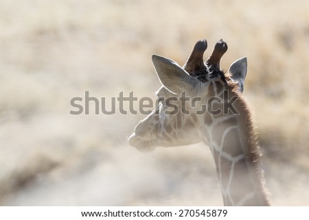 heat shot of a young reticulated giraffe thru dried desert grass for a dramatic soft look - stock photo