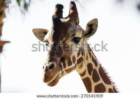 heat shot of an adult female reticulated giraffe over a white background - stock photo