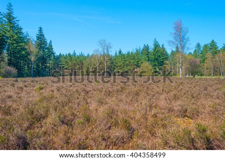 Heath in a pine forest in spring
