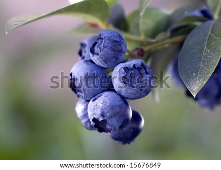 Heathberries/ blueberries ripening on the branch - stock photo