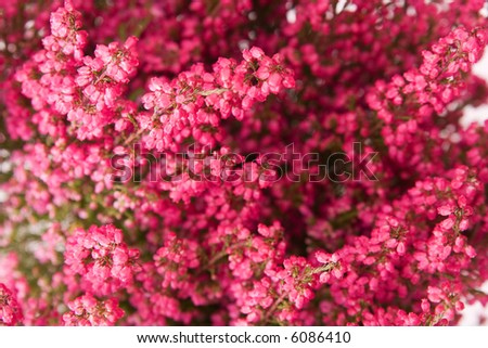 heather blossom, close up, suitable for background - stock photo