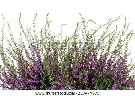 Heather, Calluna vulgaris, on white background - stock photo