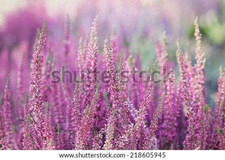 Heather flowers. Small violet flowers. vintage paper background. retro style. (Soft focus). - stock photo