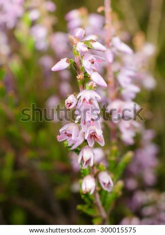 heather flowers (vertical macro crop) - stock photo