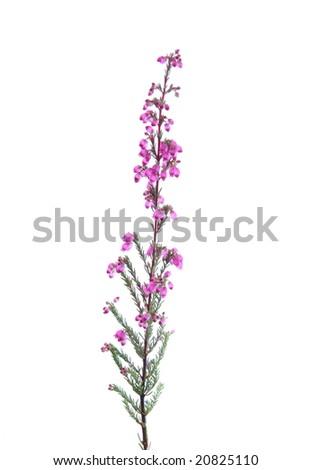 Heather isolated on white background, - stock photo