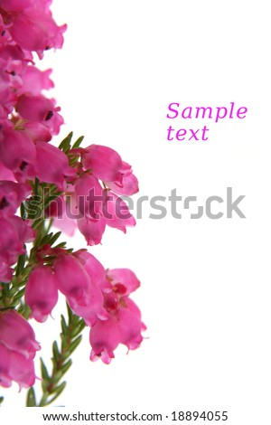 Heather isolated on white background, with copy space