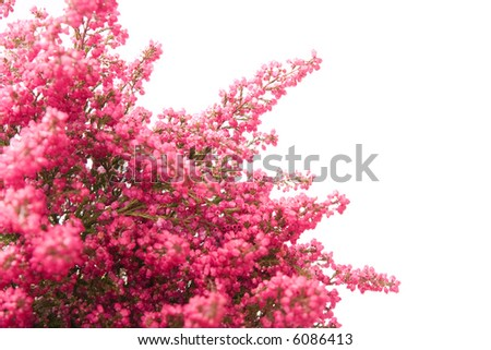heather isolated on white background, with copy space - stock photo
