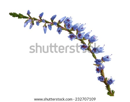 heather with blue flowers isolated on white background - stock photo